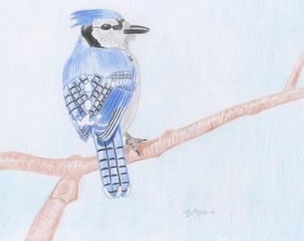 Blue Jay Bird drawing