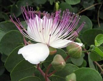 Caper 10 Seeds (Capparis spinosa)