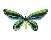 Queen Alexandria's Birdwing Butterfly, Insect Art, Bug Art, Blue, Green, Entomology, Watercolor Print, Butterfly Painting, Insect Painting