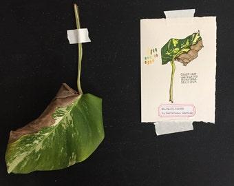 Culled Leaf Drawing No. 7