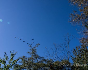 Photography / Honk Honk //  instant download / jpg file / home decor / wall art / geese / V shape