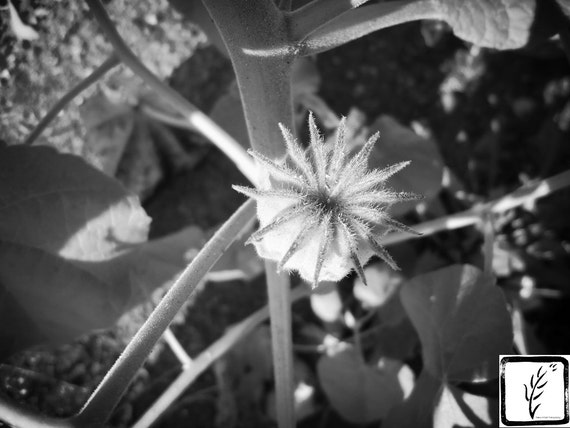 B&W Photograph, fine art, photo print, wall art, home decor, flower, Summer, floral, Manhattan, New York