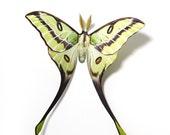 """Argema Besanti 4.75"""" Papercut Moth Decoration"""