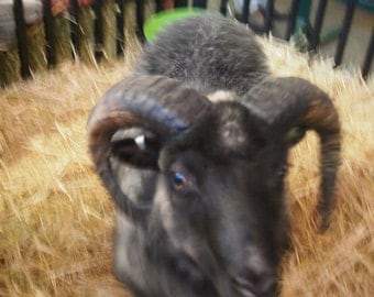 ADOPT a  ICELANDIC Sheep Get roving 6 month adoption  (this is Not for the live Animal )