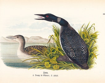1890 Audubon Bird Print - Loon - Vintage Antique Book Plate for Natural Science or History Lover Great for Framing 100 Years Old