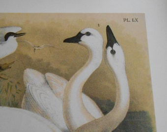 Large Swan Bird Print from Studer's Birds by Theodore Jasper, Vintage Art