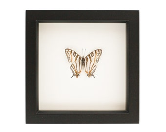 Framed Map Butterfly Art Display Cyrestis Preserved Insect