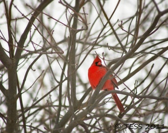 Winter Cardinal Photo - Cardinal Photo Without Snowflakes  -   Cardinal Photo - Bird Photography - Nature