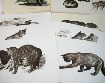 Vintage Cat Prints, Cats Themselves By Robert Kuhn