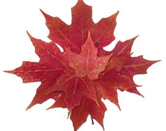 6 UV Resistant Coated, Lustrous,Soft, Supple  Real Pressed Red MAPLE LEAVES, Use for Pressed Leaf Artwork, Fall Wedding & Holiday Decor
