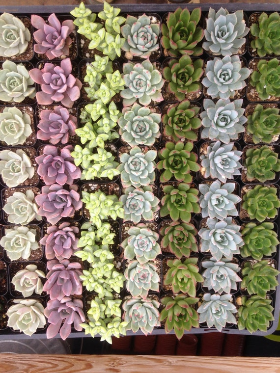 A Riot Of 12 Succulent Plants, Succulent Favors, A Nice Variety, Great Deal, Wedding Favors, Make a Living Wall, Succulent Terrarium