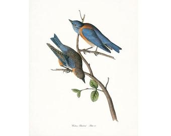 Audubon Vintage Bird Print,  Giclee Print, Western Bluebird