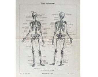 1894 HUMAN SKELETON print original antique medical anatomy lithograph