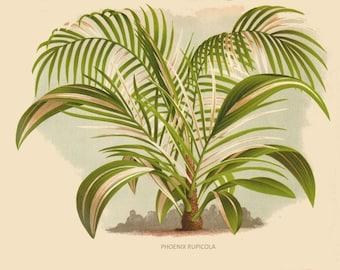antique french botanical print date palm tree illustration digital download