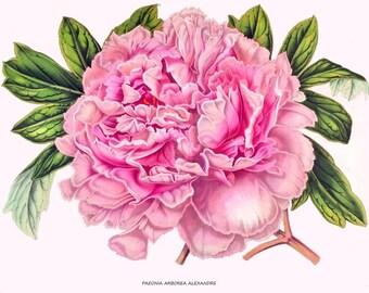 antique french victorian botanival print pink peony flower illustration digital download