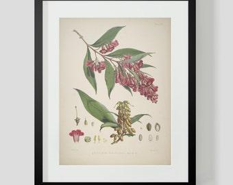 Botanical Illustration Himalayan Plate XVIII (18)