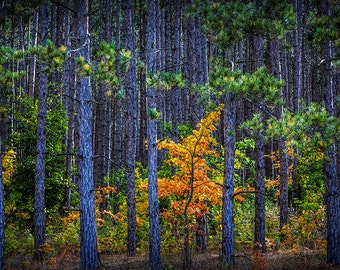 Colorful Yellow Orange Maple Tree among a Grove of Pine Trees in a Forest along M37 in Autumn No.0958 a Fine Art Fall Landscape Photograph