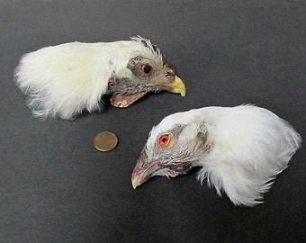 2 White Dried Chicken Birds Heads Art Craft Taxidermy with Eyes