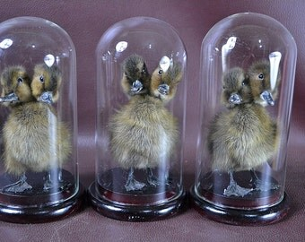 3 in 1 ,2 headed freak duckling set,mounted with glass dome free shipping