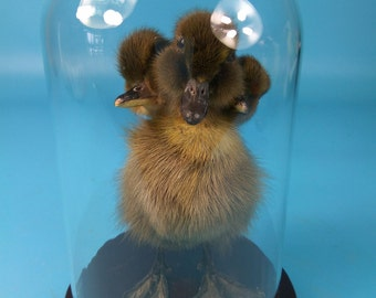 taxidermy 3 headed ducklings mounted in glass dome free shipping to everywhere