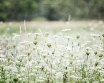 Green Nature Print or Canvas Art, White Queen Anne's Lace, Flower Photography, Green Decor, Field Landscape, Wildflowers, Nature Art, White.