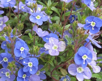 Blue Bonnet Macro Digital Download Springtime Blossom Macro