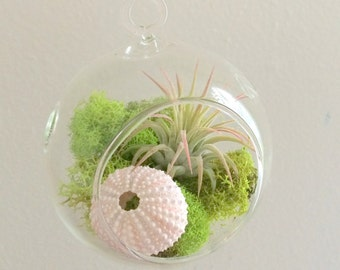 Air Plant Hanging Terrarium Clear Glass Kit with Moss and a small sea urchin
