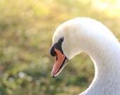 Swan Photography/Swan Photograph/Swan Art/Photography/Bird Photography/Nature Photography/FREE SHIPPING