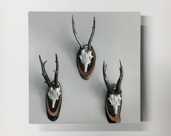 Rule of Thirds- Photograph of Mounted Deer Skulls Printed on Matte Metal
