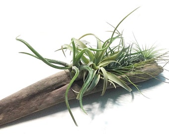 Air Plants on Driftwood: Tabletop Garden, Air Plant Planter, Driftwood Planter