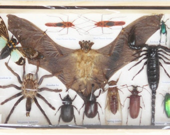REAL Multiple INSECTS BEETLES Scorpion Cicada Spider Bat Collection in wooden box/is08OO