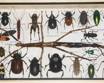 REAL Multiple INSECTS BEETLES Cicada Collection in wooden box/is08ZZ