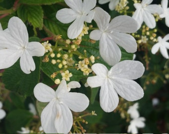 Artisan photography photo of a bush full of white flowers