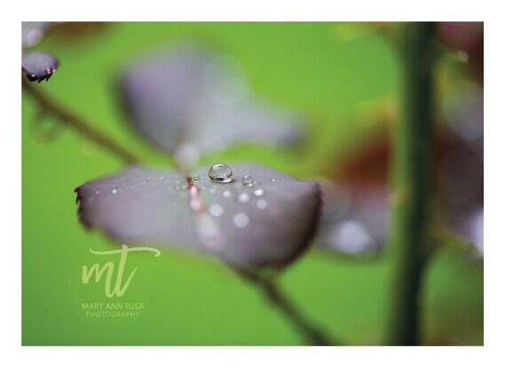Raindrop on a Rose Bush Stem