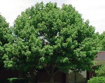 White Ash Tree Seeds, Fraxinus americana - 25 Seeds