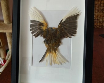Canary skin in black picture frame Taxidermy Sculpture