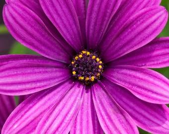 Purple Daisy Print, Purple Daisy Photo, Purple Daisy Picture, Purple Bedroom, Purple Art, Purple Decor, Floral Print, Purple Flower