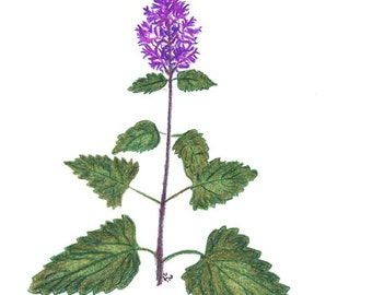 Original Art Created With Colored Pencil - Catnip Plant - Nepeta Cataria - Herbal Plant
