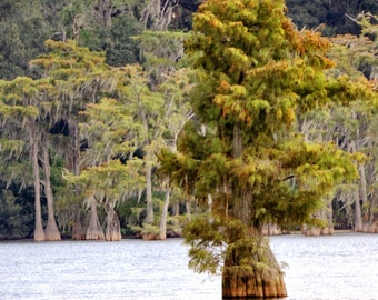 Cypress Tree Photograph Nature Photography Home Decor
