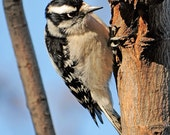 Downy Woodpecker (Female), Nature Photography, Songbirds, Feathers, Color Wall Art, Home Decor, Birds, Animal Photography, Blue Sky