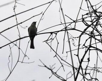 Birdsong   Silhouette B&W Winter Tree Branches Stark Sky Fine Art Photography Nature North Carolina 8x10