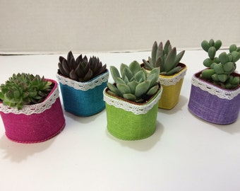 Succulent Plants.70  Gorgeous Favors with Succulent Plants, Pots with Glam Ribbon and White Lace.