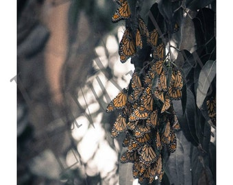 Monarch Migration Photograph