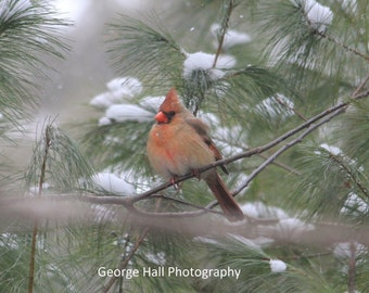 Photo of a Female Cardinal in a Snow Covered Pine Thicket