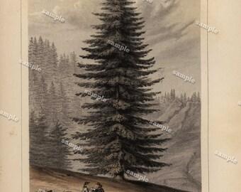 Original Antique Botany Tree 1857 Tinted Print -Picea grandis  Original Tree print - Hand colored