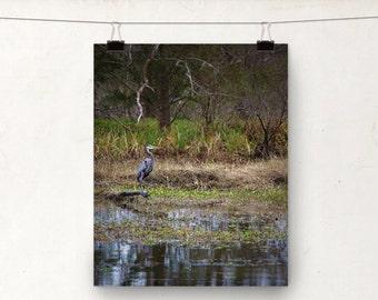 Wildlife Photo, Louisiana Bayou, Blue Heron, Bird Photography, Swamp