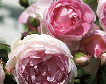 Arborose ® Jasmina ™ Rose Bush Fragrant Pink Climbing Rose Grown Organic Potted In 5 Inch Deep Pot - Own Root Non-GMO - SPRING SHIPPING