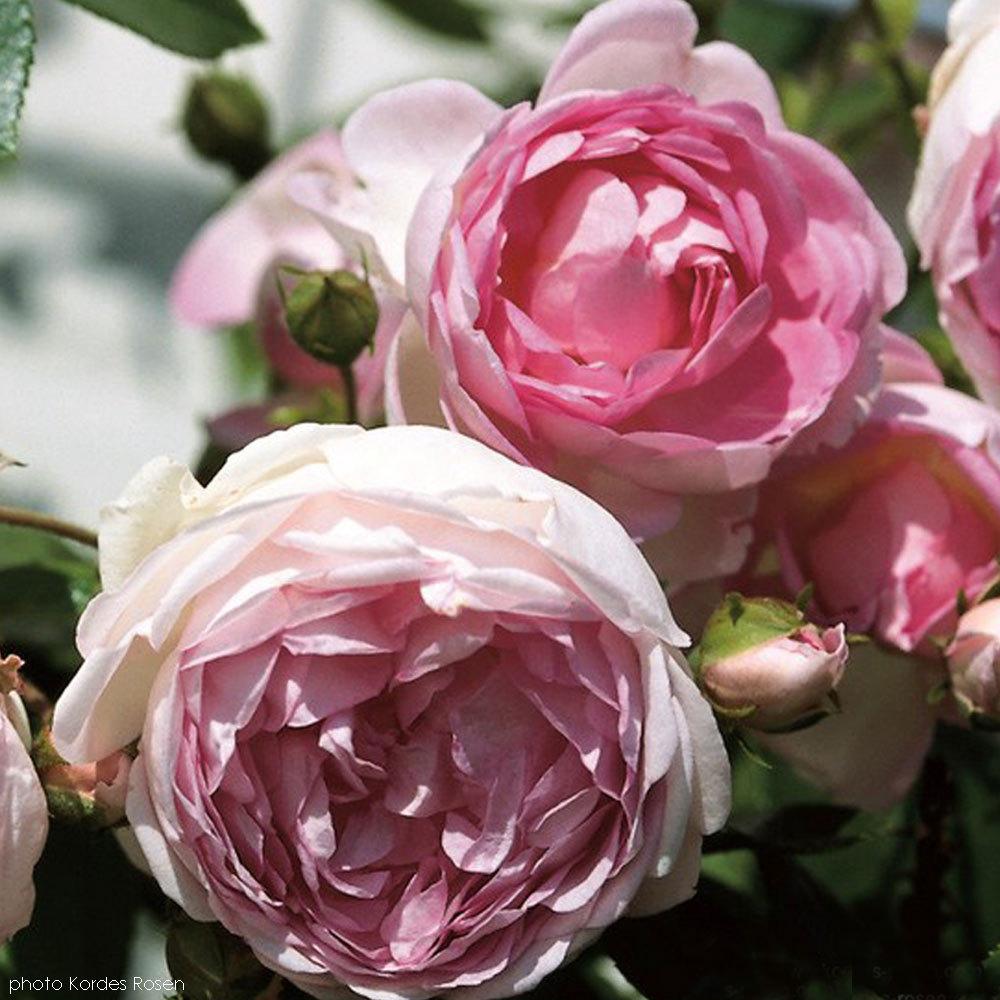 arborose jasmina rose bush fragrant pink climbing rose. Black Bedroom Furniture Sets. Home Design Ideas