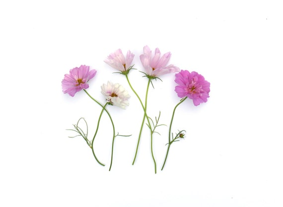 Pink Cosmos ~ note card ~stationery ~ pink flowers ~ summer flowers ~ cosmos