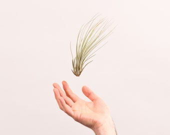 Air Plant Juncea